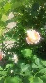 s-20195月のバラ園画像