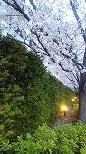 s-sakurajitaku20194.jpg