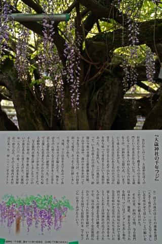 190504山崎千年藤11縦