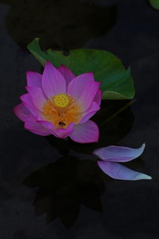 190629蓮の花8