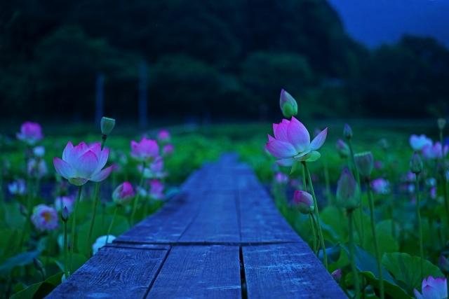 190629蓮の花11