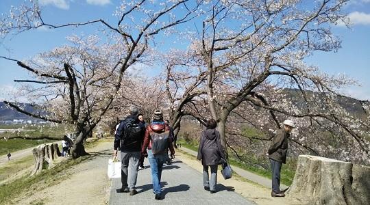 もはや桜のトンネルではない桜並木