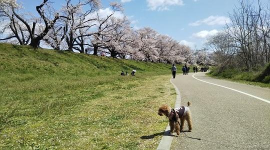 寂しい桜並木