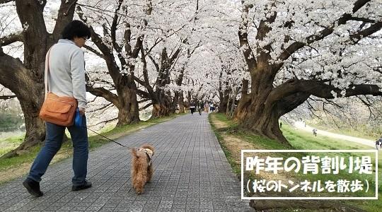 昨年の背割り提ー桜のトンネルを散歩