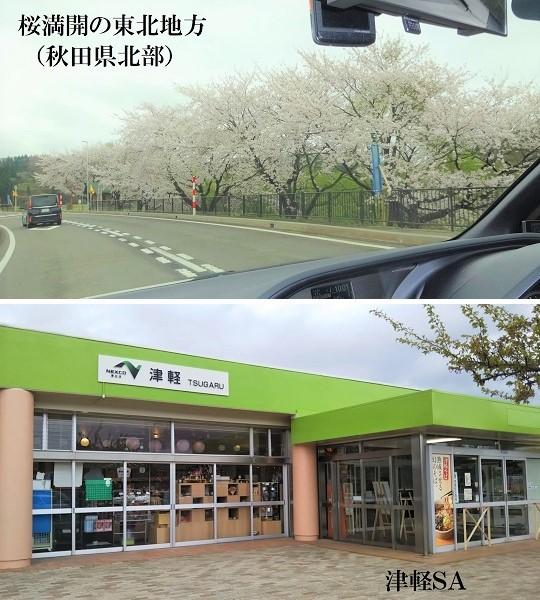 桜満開の東北地方(秋田県北部)