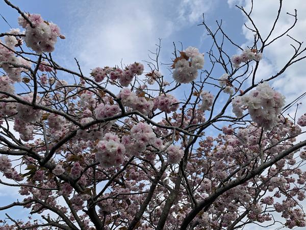 03八重桜