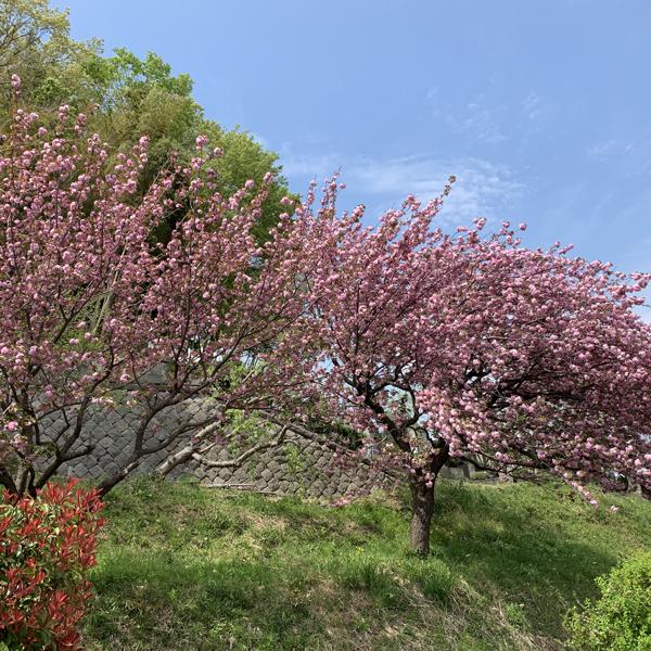 02八重桜