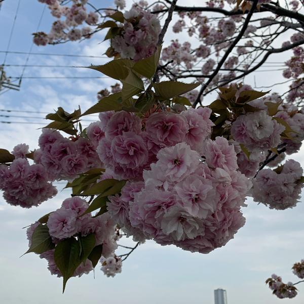 04八重桜