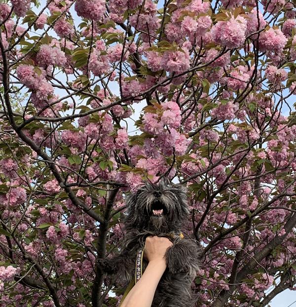 06八重桜