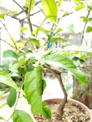 庭のイモムシ1