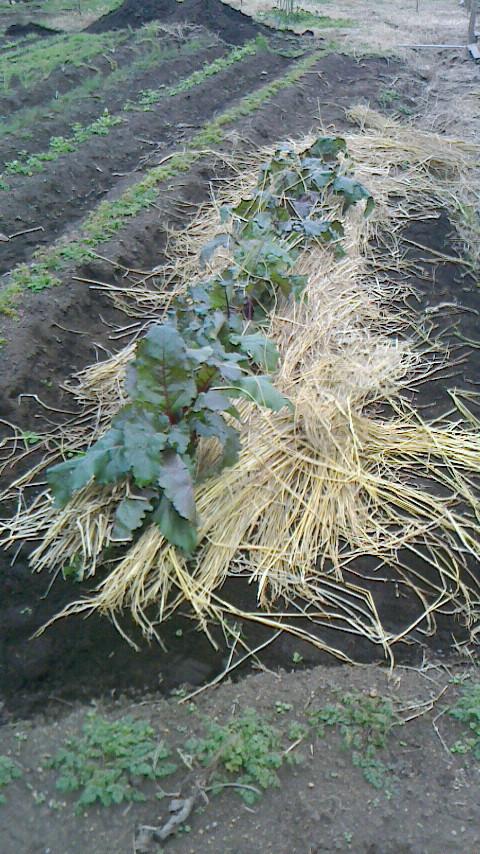 ビーツの種とり用畑(座間3ハーブ畑)