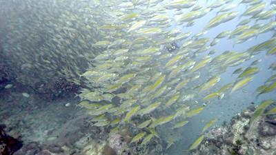 タオ島 水中生物