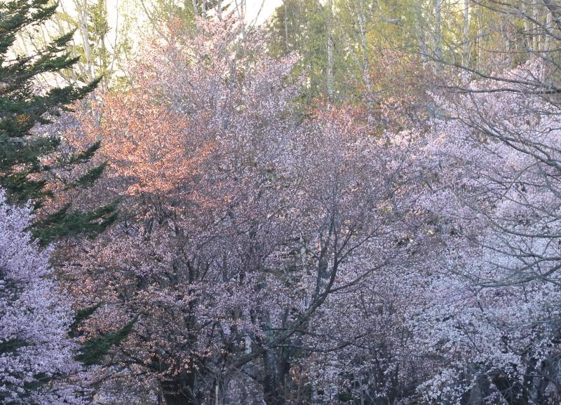 0374 夕日に染まった桜