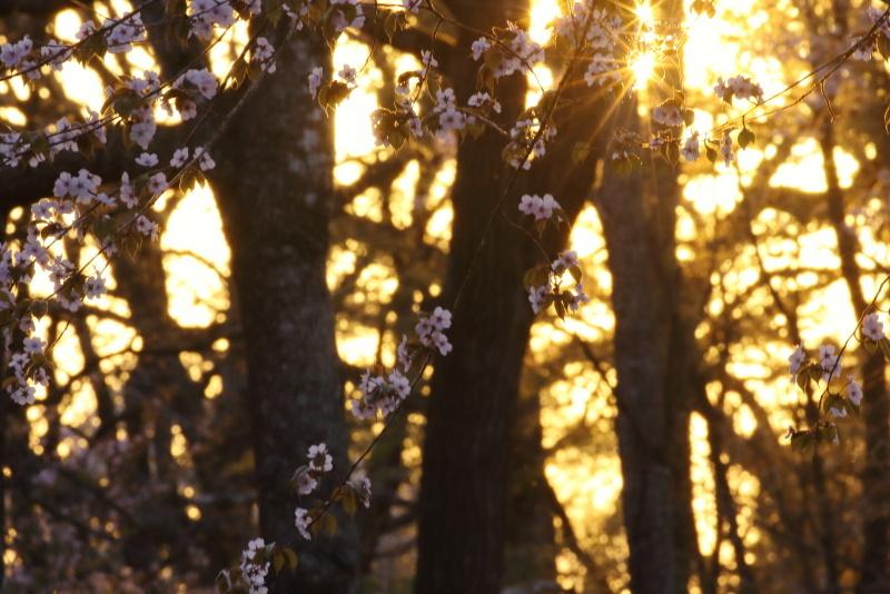 0391   夕日と桜