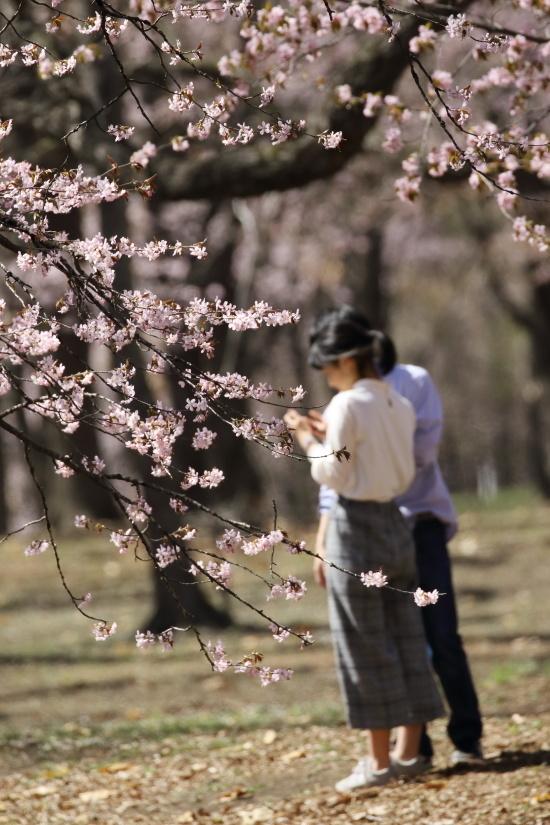 8656 桜の中で