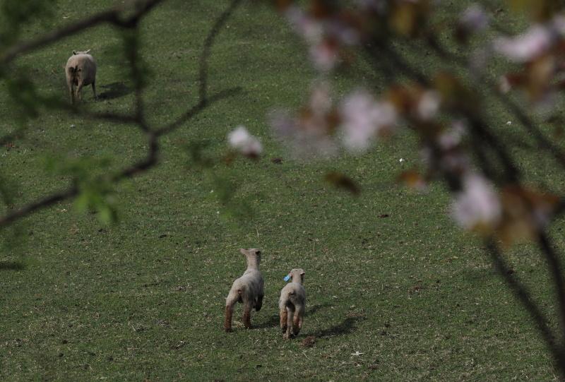 9697羊のちびちゃん