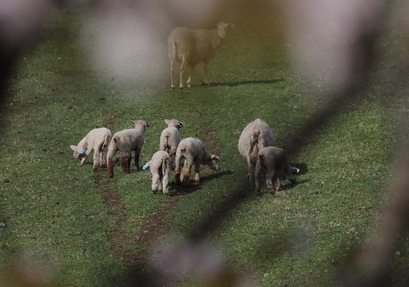 9704 羊