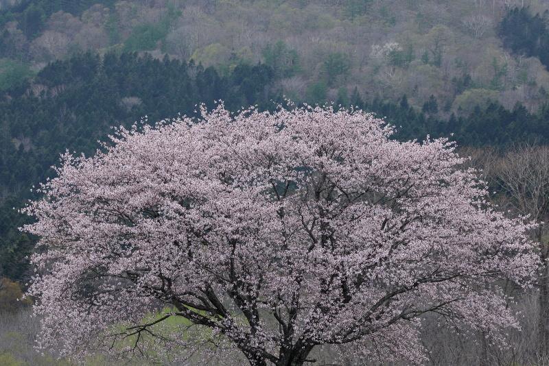 0020 一本桜