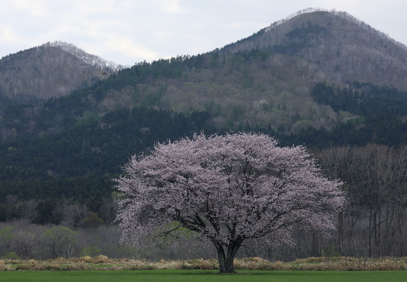 0029 一本桜