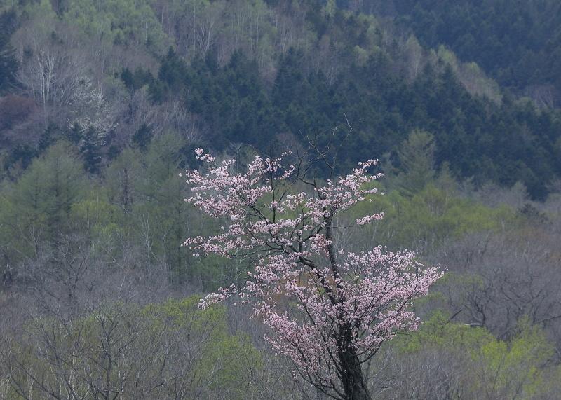 0035 新緑と桜