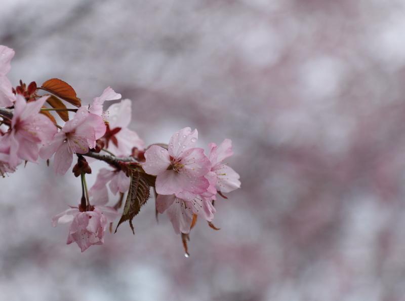 9981 桜