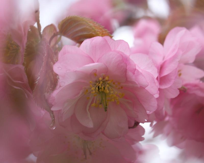 9987 桜