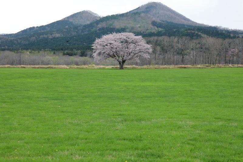 0015一本桜
