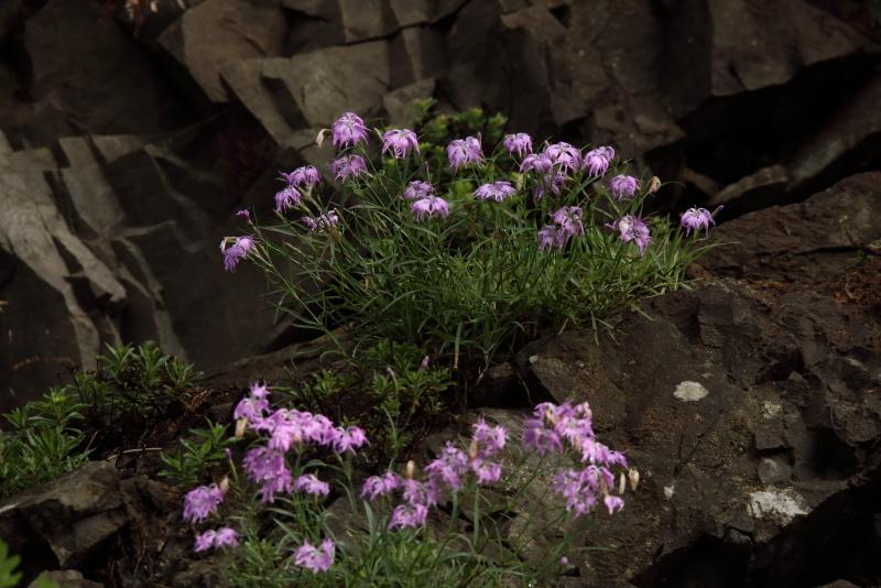1289 岩盤に咲くカワラナデシコ