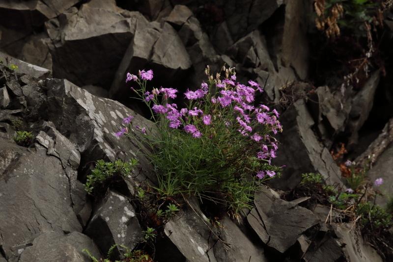 1298 岩盤に咲くカワラナデシコ