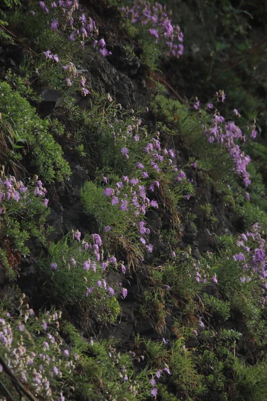 1301 岩盤に咲くカワラナデシコ