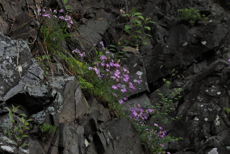 1307 岩盤に咲くカワラナデシコ