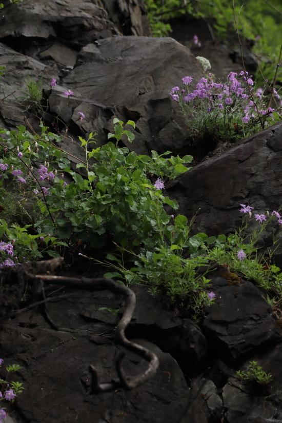 1327 岩盤に咲くカワラナデシコ
