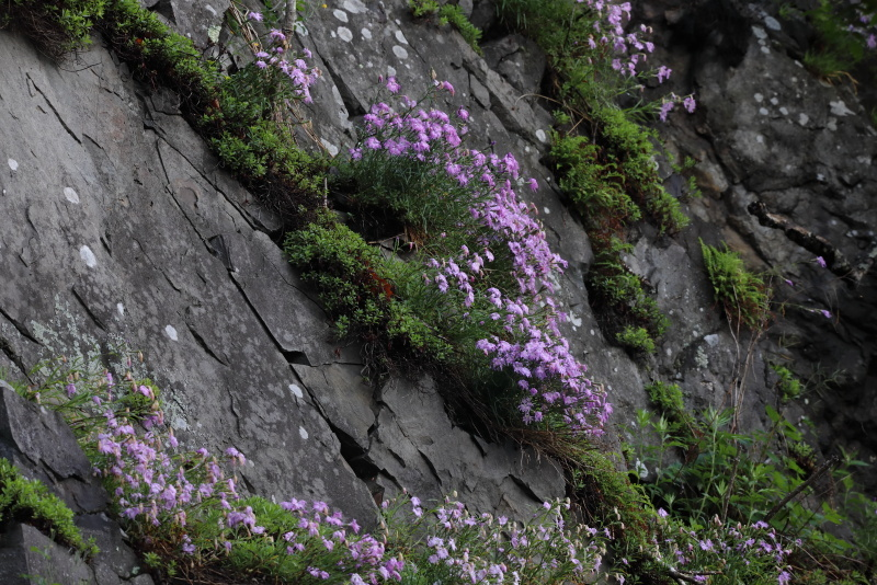 1388 岩盤に咲くカワラナデシコ