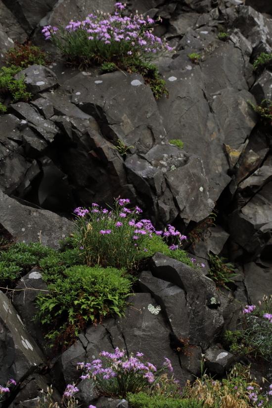 1392 岩盤に咲くカワラナデシコ