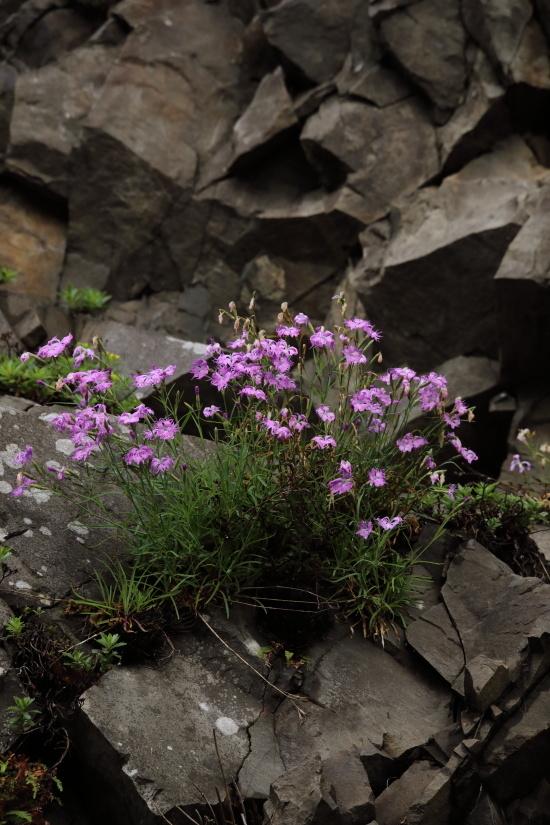 1396 岩盤に咲くカワラナデシコ