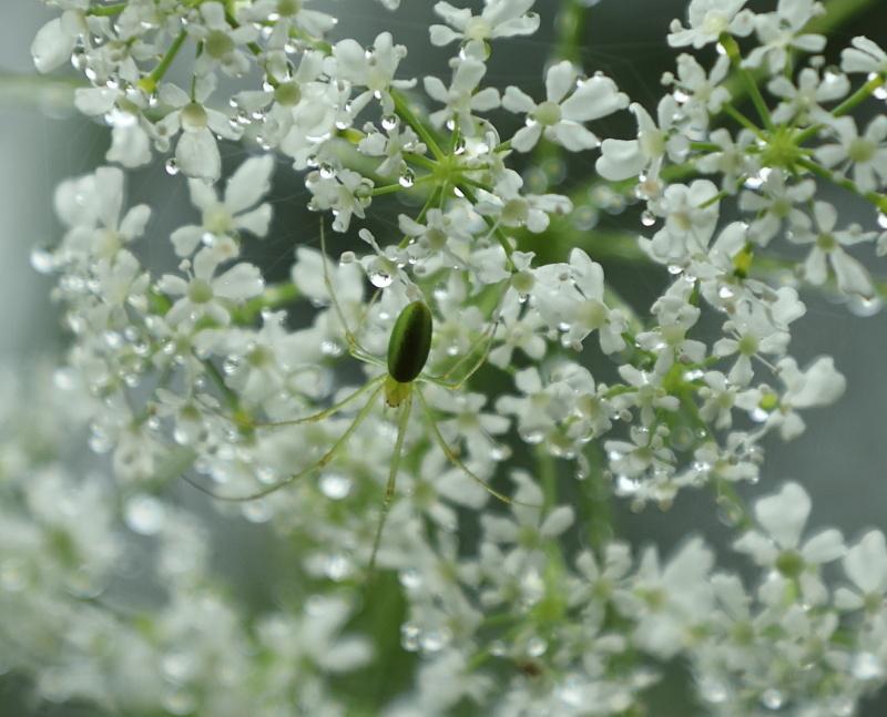 1490 緑のクモ