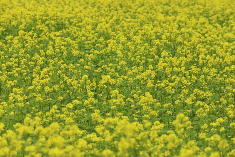 2374 菜の花