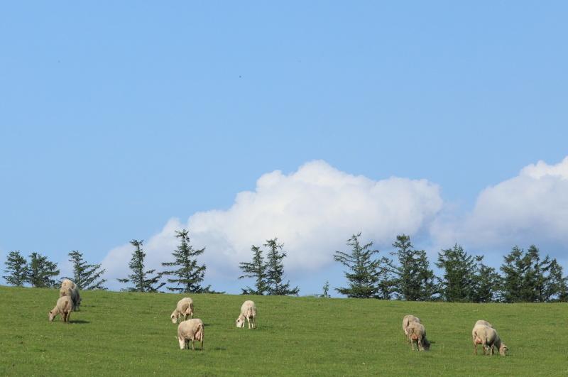 2620 綿羊