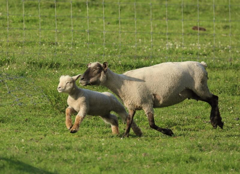 2645 走る子羊