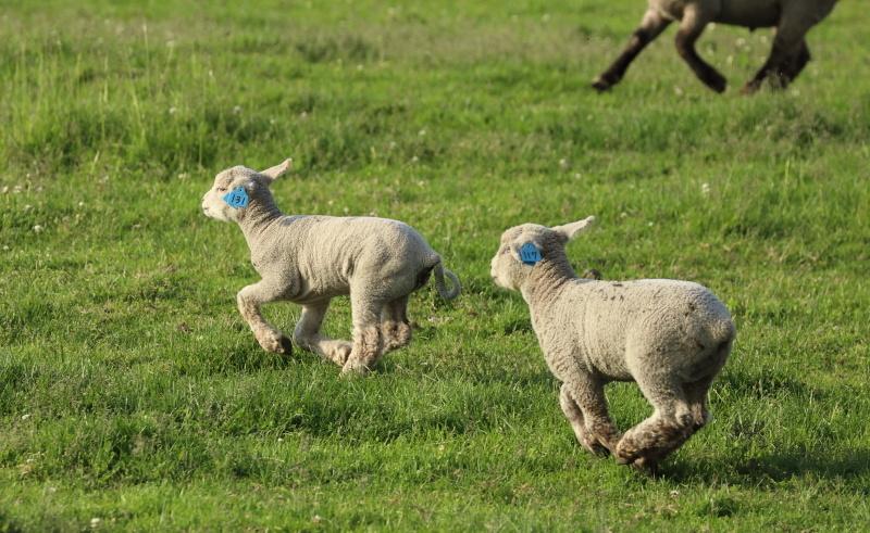 2648 子羊