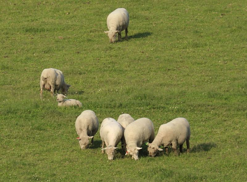2693 綿羊