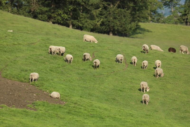2664 綿羊