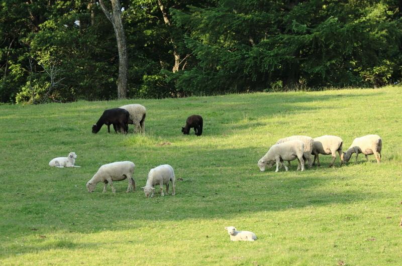 2684 綿羊