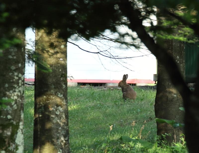8817 エゾユキウサギ