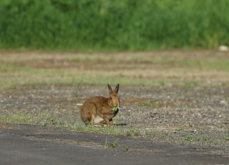 8844 エゾユキウサギ