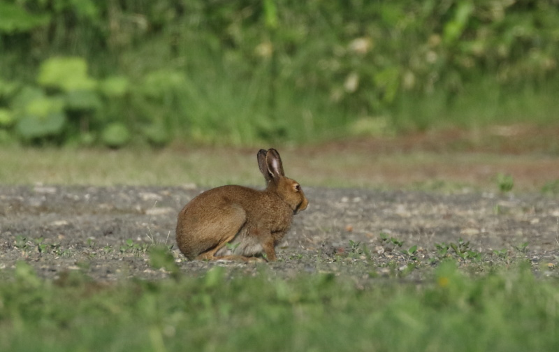 8858 エゾユキウサギ
