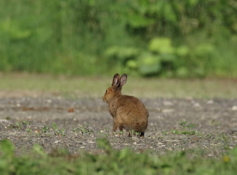 8867 エゾユキウサギ