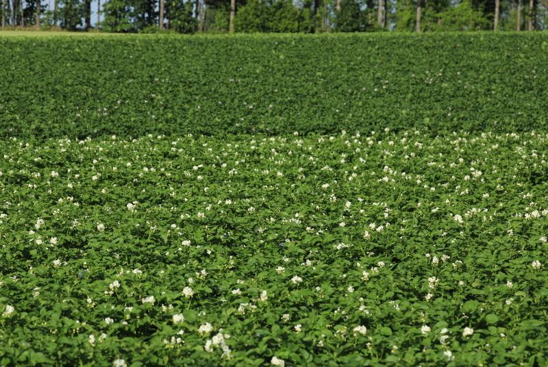 3409 ジャガイモの花
