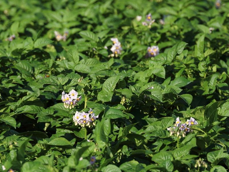 3412 ジャガイモの花