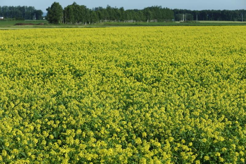 3419 菜の花畑
